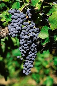 vino-uva-aglianico-rosso-roccamonfina